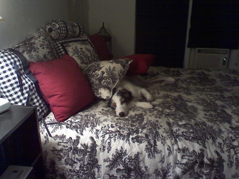 My dog Willow sleeping on our bed beneath an avalanche of pillows