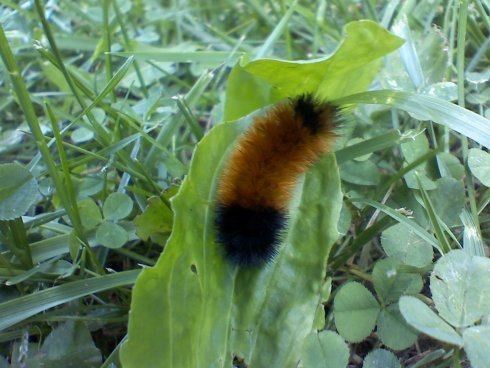 Woolly Bear Caterpillar at Settlers Cabin Park west of Pittsburgh, PA