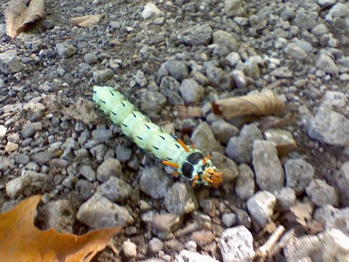 Hickory Horned Devil Caterpillar or Larvae
