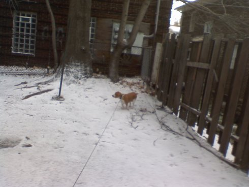 My lemon beagle Daedalus in the snow