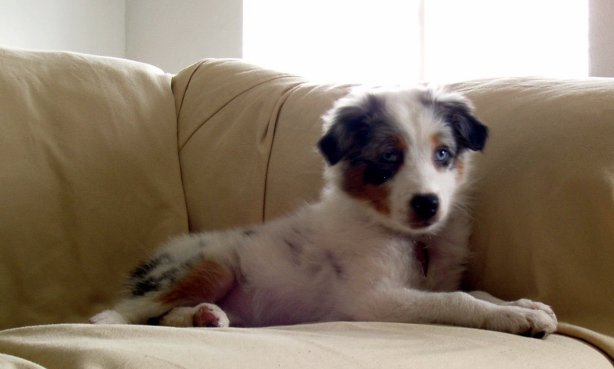 My australian shepherd Willow as a puppy.  Isn\'t she as cute as a baby elk?