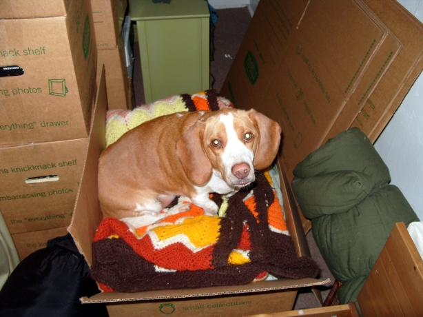 My lemon beagle Daedalus seeking out the comfort only a box of blankets can provide.