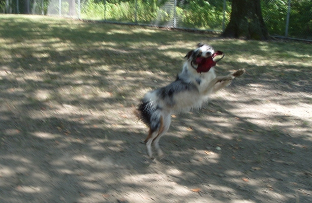 My australian shepherd Willow catching a frisbee in mid-air