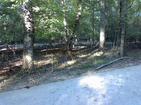 Two fawns on the path (the second is on the left side)