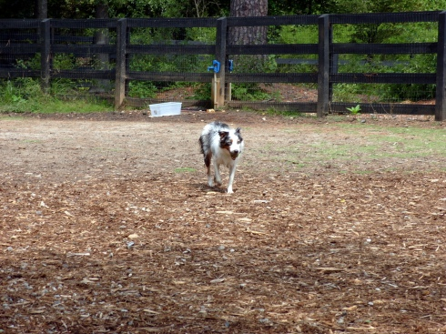 My Australian Shepherd Willow at our new dog park in Alpharetta, GA.