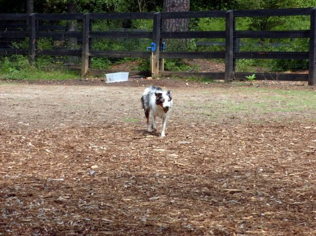 My Australian Shepherd Willow at our new dog park in Alpharetta, GA.