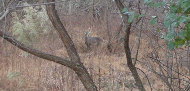 Six-point buck (I think) in the woods behind my apartment.