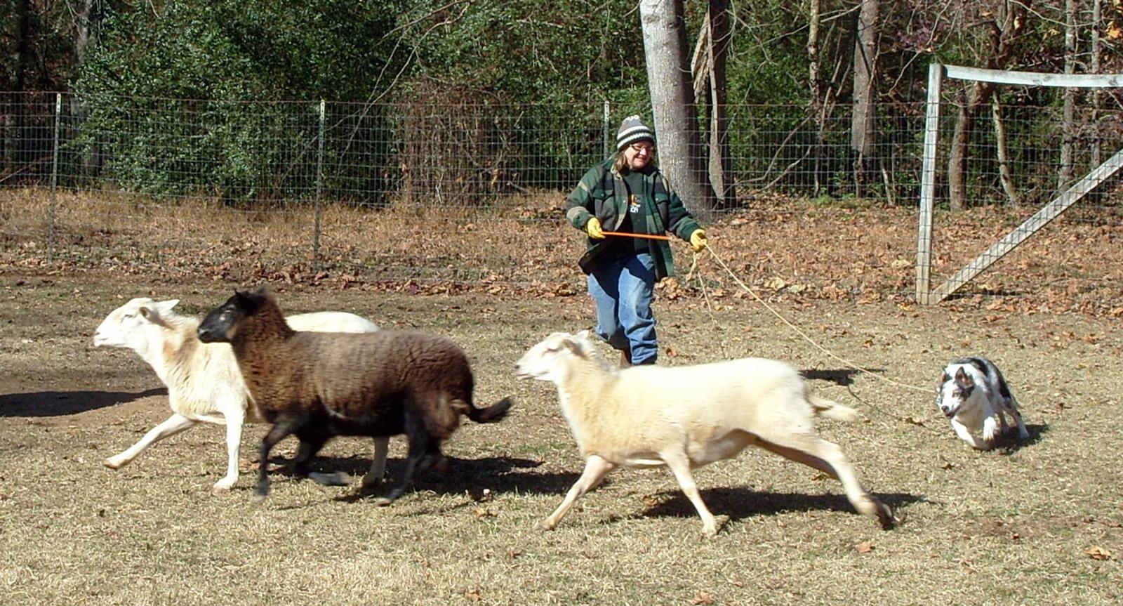 Dogs Herding Sheep Video